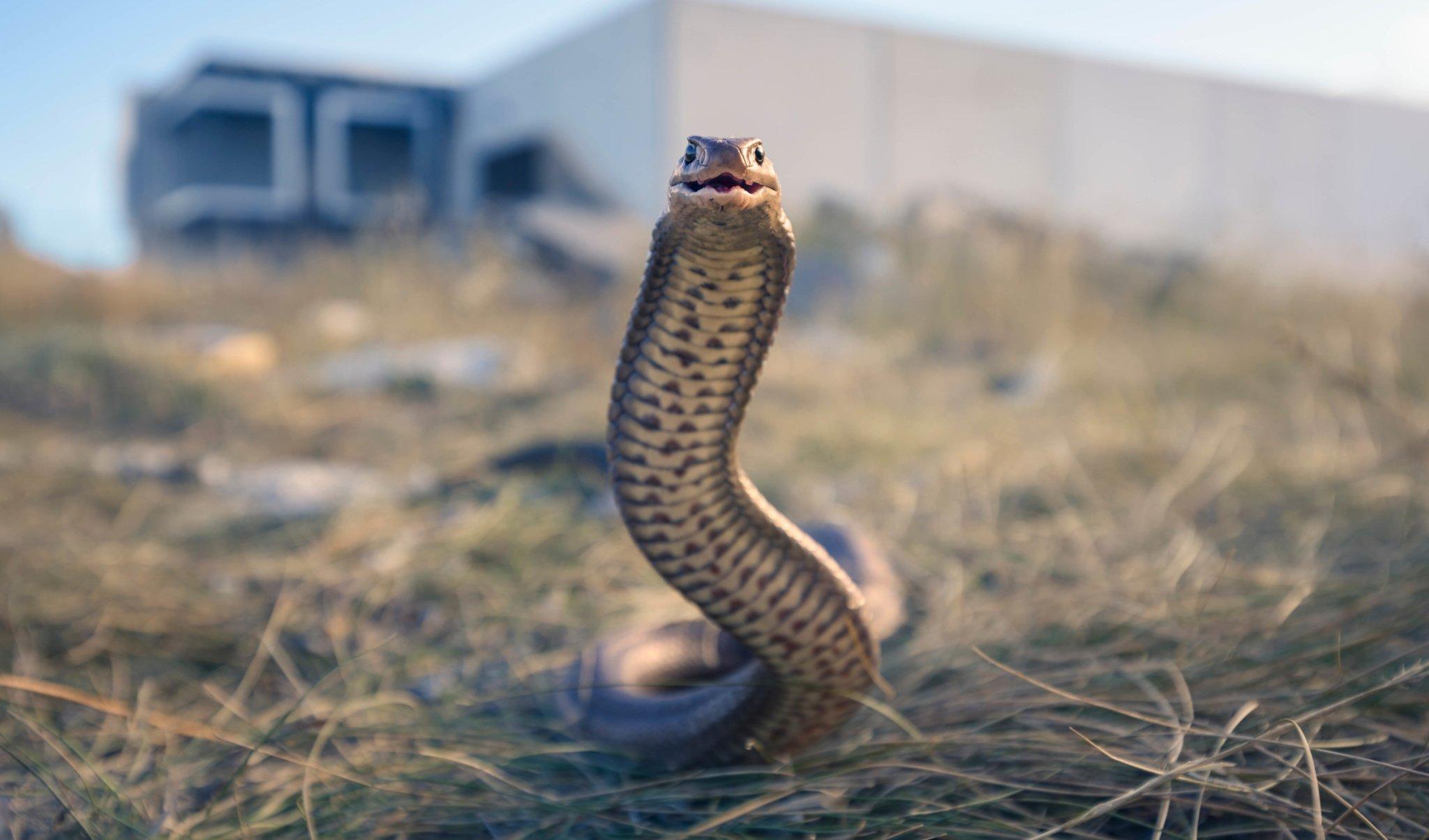 Australia's 10 most dangerous snakes