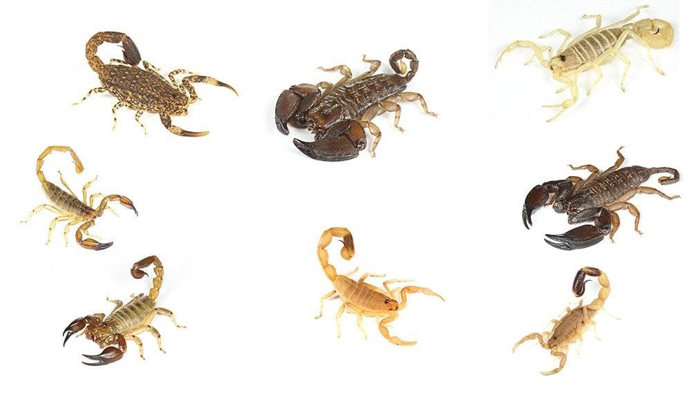 Scorpions of Australia - Australian Geographic