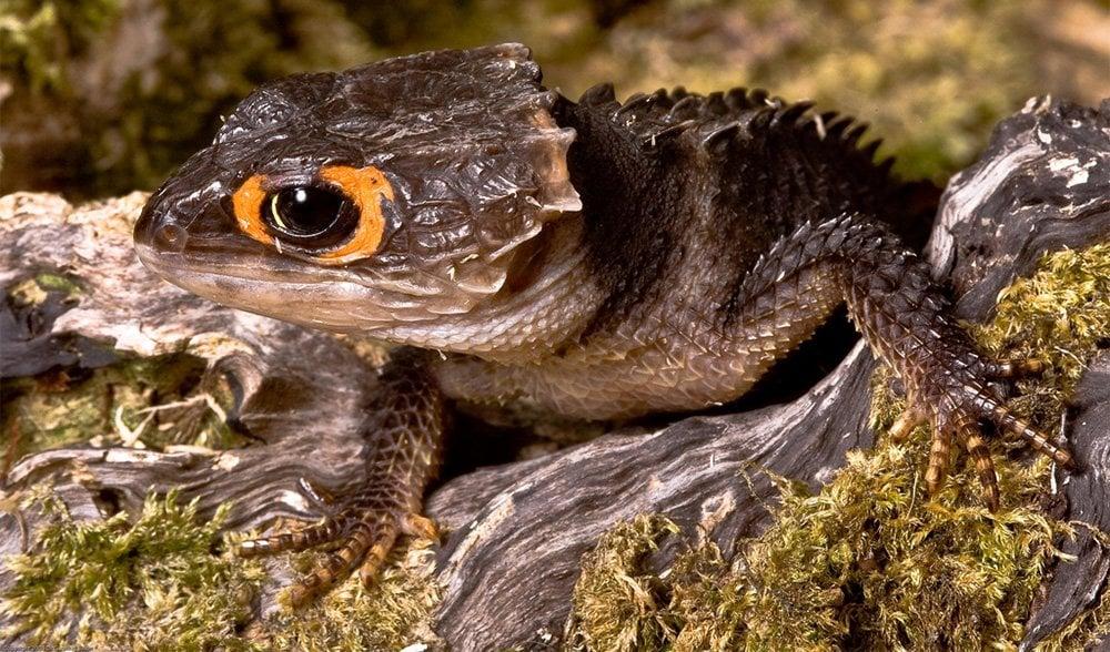 Red-eyed crocodile skink - Australian Geographic