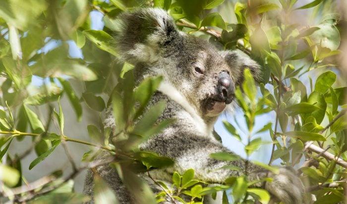 Koala Australian faunal emblem