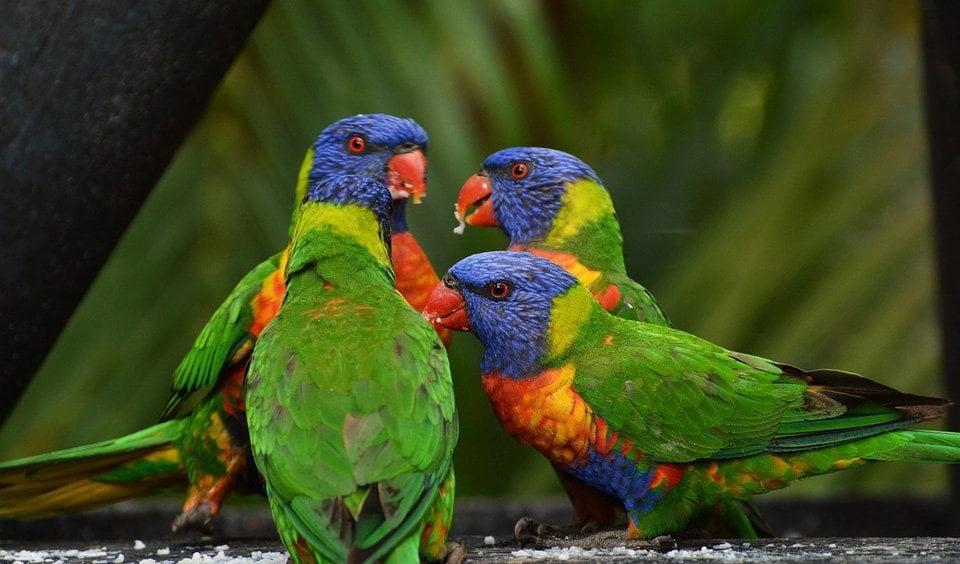 Drunk birds: inebriation in the wild - Australian Geographic