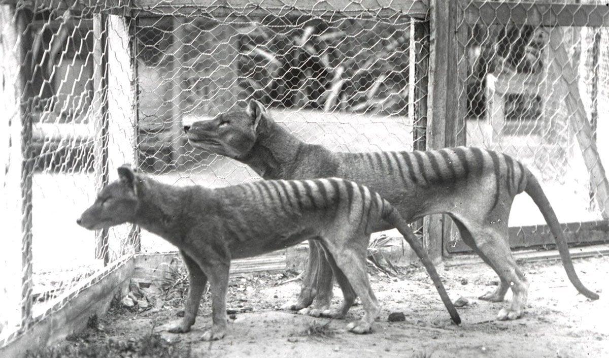 Image result for thylacine