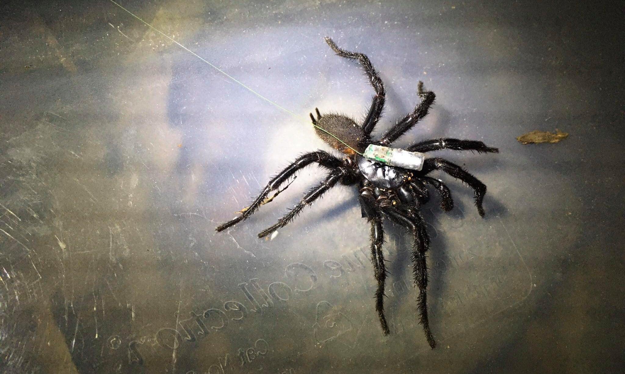 sydney funnel web